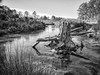 Stump B&W-1 (Forensicdoc1) Tags: lexington southcarolina unitedstates us