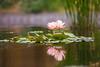 Great Expectations (Thomas Hawk) Tags: cheesmanpark colorado denver denverbotanicgardens denverbotanicalgarden waterlilies waterlillies botanicalgarden flower waterlilly waterlily fav10 fav25