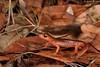 Yellow-eyed Ensatina (Ensatina eschscholtzii xanthoptica) (Chad M. Lane) Tags: wildlife wildlifephotography water explore exploring ensatina explorer eye yelloweyedensatina marincounty macro macrophotography micro mothernature travel yellow usa outdoor animals amphibians salamanders fieldherping sb800 beautiful bokeh nikon nikond810 nofilter naturephotography fullframe