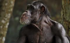 2010_ac_Never argue with me !!! (Wellsman2010) Tags: trees jungle ape gorilla canon 70300 mm l lens kuala lumpur zoo malaysia asian asia wildlife nature greenpeace