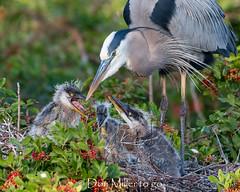 Family of Great Blue Herons (DonMiller_ToGo) Tags: chicks greatblueherons wildlife rookery nature birds outdoors birdwatching d810 venicerookery florida