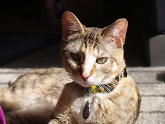 private 038 (lorablong) Tags: westhollywood california cat pet twix