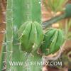 Polaskia chichipe (SUBENUIX) Tags: cactaceae polaskiachichipe suculentas subenuix subenuixcom planta suculent suculenta botanic botanical