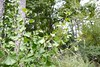 Ginkgo biloba --  Gingko Tree 0868 (Tangled Bank) Tags: sarahpdukegardens durhamnorthcarolinaplantflorabotanybotanicalgardenplants
