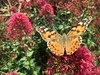 Centranthus ruber & Distelfalter (Redoute Gardener) Tags: distelfalter
