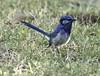juvenile Splendid Fairy-wren (Griffins Photos) Tags: grass wren blue splendid fairy bird