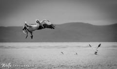 Pelicans of Pyramid Lake