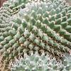 Mammillaria compressa (SUBENUIX) Tags: cactaceae mammillariacompressa suculentas subenuix subenuixcom planta suculent suculenta botanic botanical