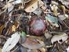 Flower bud of Rafflesia keithii (Christophe Maerten) Tags: borneo malaysia sabah gunung tambuyucon pitcherplants nepenthes jungle altitude mossy forest highland plants rafflesia keithii