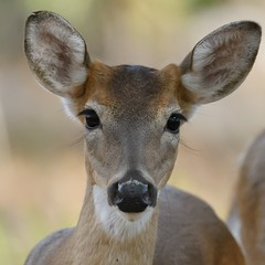momma's boy (pattycphotography) Tags: buttons button buttonbuck yellow green light eyelashes eyes nature wildlife antlers nikon dusk deer