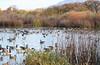 Cackling Geese (Branta hutchinsii); Albuquerque, NM, Rio Grande Nature Center [Lou Feltz] (deserttoad) Tags: wildlife nature newmexico water desert bird wildbird waterfowl goose reflection refuge behavior