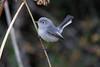 Blue-gray Gnatcatcher (Alan Gutsell) Tags: bluegraygnatcatcher blue gray gnatcatcher bird texasbirds alan wildlife nature georgebushpark houston birding