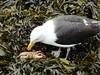 A fishy breakfast (mrsmonster1) Tags: beach sand bird seacreature crabs breakfast seaside ocean seaweed crab seagull seagulls sea