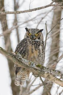 ''En à marre de l'épervier d'y t'il!'' Grand-duc-Great horned Owl