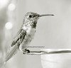 Hanging out (theresazphotography) Tags: hummingbird hummingbirdphotography californiabirds californiahummingbirds birdphotography photography bal theresazphotography naturephotography black white bw