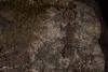 Kate's Leaf-tailed Gecko (R. Francis) Tags: katesleaftailedgecko saltuariuskateae mtmarsh richmondranges ryanfrancisphotography ryanfrancis northernnsw northeastnsw nswnorthcoast nsw newsouthwales northernrivers