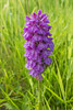 Late early purple orchid (ceeko) Tags: 2017 faroeislands fujifilmx100f tórshavn earlypurpleorchid meadowland wildflower streymoy