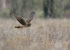 Busard Saint Martin (Michel Idre - 6 millions de vues merci) Tags: oiseau bird aves plaisancedutouch hautegaronne busardsaintmartin
