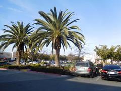 DSCN2630 (earthdog) Tags: 2017 nikon coolpix s7000 nikoncoolpixs7000 needstags needstitle tree palmtree palm sanjose