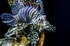 Lion Fish (Beangrau12) Tags: lionfish aquarium