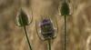 teazle... (petegatehouse) Tags: teasel wildbirdfood wild violet thorny