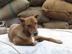 sad (gerben more) Tags: dog pet animal newdelhi delhi olddelhi
