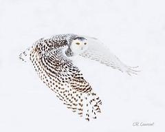 Snowy (CR Courson) Tags: buboscandiacusnycteascandiaca owls snowyowl strigidae birds birdphotography birdsinflight nikon naturephotography nature wildlife wildlifephotography wings winter snow crcourson chuckcourson