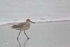 "Willet (dennis_plank_nature_photography) Tags: padreislandnationalseashore tringasemipalmata willet bird texas aves birds nature ""avianphotography"" ""birdphotography"" ""naturephotography"""