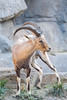 Nubian Ibex. (LisaDiazPhotos) Tags: lisadiazphotos sdzsafaripark sdzoo sdzsp sandiegozoo sandiegozooglobal sandiegozoosafaripark sandiegosafaripark africa rocks nubian ibex