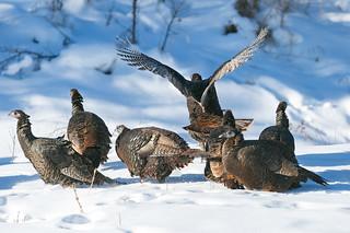 Frozen Turkey (EXPLORED #79 on 1.2.18)