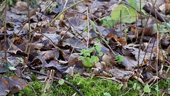 Wren (Troglodytes troglodytes) (jhureley1977) Tags: wren troglodytestroglodytes birds birding birdsofbritain britishbirds ashjhureley avibase naturesvoice bbcspringwatch rspbbirders ashutoshjhureley rspb rspbryemeads