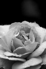 Sweet tears (The Frustrated Photog (Anthony) ADPphotography) Tags: bedfordshire category england flora luton places rose flower macrodreams sigma105mmmacro canon70d canon macro closefocus closeup droplets waterdroplets water rain blackandwhite whiteandblack bw narrowdepthoffield depthoffield bokeh mono monochrome sadness outdoor garden plant plants