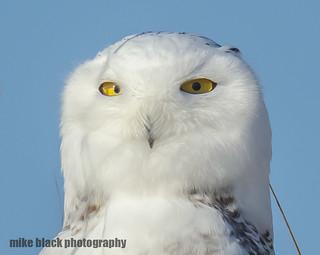 Snowy Owl at NJ shore