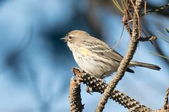 DSC_5435.jpg Yellow-rumped Warbler, Schwan Lake (ldjaffe) Tags: yellowrumpedwarbler schwanlake myrtlewarbler