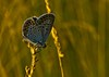 xyx-0256 (jozsef.fay) Tags: hely itthon köncsög növény virág lepke rovar vadvirág állat