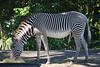 Grevy's Zebra (Equus grevyi) (ACEZandEIGHTZ) Tags: zebra grevys equus grevyi nikon d3200 zoo zoomiami miami metrozoo dadecounty striped savanna herbivore ungulate oddtoed