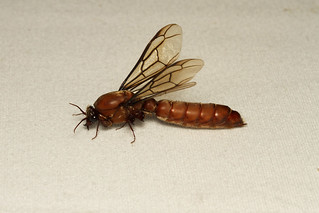 Dorylus helvolus ♂ (Red Driver Ant) - South Africa