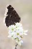 Trauermantel │ Camberwell beauty  Nymphalis antiopa (Bluesfreak) Tags: schmetterlinge tagfalter trauermantelnymphalisantiopa