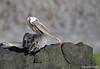 Pelican_Brown_5664758 (suzifleck2) Tags: galapagos brown pelican pelecanus occidentalis urinator bird