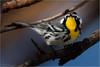 Yellow Throated Warbler (Explored) (soupie1441) Tags: cuba cayo coco nikon d7200 yellowthroated warbler nature closeup animal wildlife