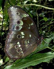 Morpho menelaus (hippobosca) Tags: butterfly lepidoptera insect nymphalidae peru macro morphomenelaus