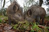 Wild Boar (Benjamin Joseph Andrew) Tags: mammal feral pig woodland forest winter pair both eating snuffling wideangle