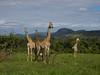 Giraffes in the lush green (jaffles) Tags: southafrica südafrika kruger np krügernationalpark natur nature wildlife safari olympus