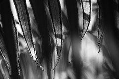 The Next Generation (setoboonhong ( OFF for a while )) Tags: nature fern leaves spores late evening sunlight close up st kilda botanical gardens melbourne outdoors bw monochrome bokeh blur depth field