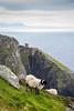 Ireland - Slieve League Cliffs (Marcial Bernabeu) Tags: ireland irlanda irish irlandes irlandés irlandesa cliff cliffs acantilado acantilados slieve league slieveleague sheep oveja marcial bernabeu bernabéu