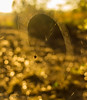 Web of Gold (tshabazzphotography) Tags: goldenhour golden orb spider web sunrise park trail nature wildlife bokeh light beautiful magic canon outdoors explore macro effect field dof depthoffield blur natural florida outside gold color wideopen 35mm 20 selective focus singlefocuspoint