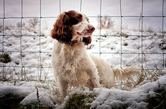 Rupert in the Snow (Missy Jussy) Tags: rupert rupertbear dog dogwalk dogportrait pet portrait animal animalportrait englishspringer springerspaniel spaniel snow winter seasonal december fence field wall drystonewalls lane bethanylane newhey outdoor outside countryside canon canon5dmarkll 50mm ef50mmf18ll canon50mm fantastic50mm sky