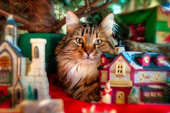 Merry Christmas 2017 (backbeatb00gie) Tags: 2017 behavior cat christmas christmastree d5000 elsie furry home joy merry nikon pet village r
