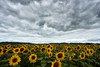 No Sun for Sunflowers (chuanet) Tags: availablelight bourran flower france outdoor sanayre sonya7 summer sunflower tournesol yellow canon1740mmf4l viltroxefnexii ngc