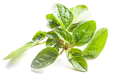 Oregano (Pizzamilano) Tags: aromatic background botany branch bunch closeup condiment cooking cuisine culinary flavor flavoring food fresh green herb herbal ingredient isolated italian leaf majorana marjoram natural nature oregano organic origanum plant seasoning spice sprig twig vegetable white